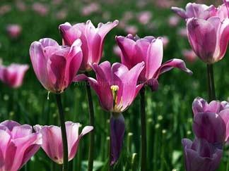 Zun bedrukt Tulpen