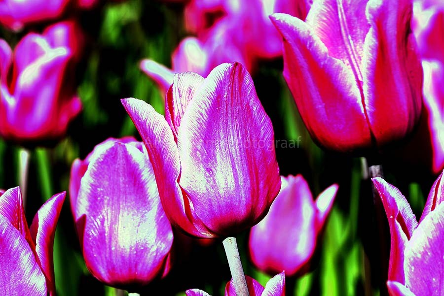 Zun bedrukt Tulpen 2