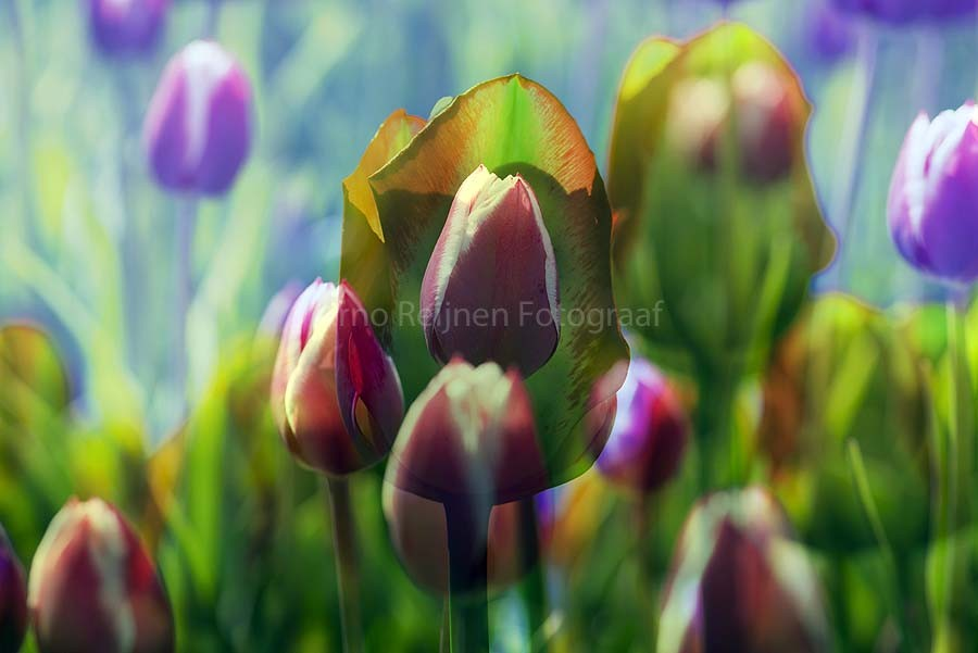 Zun bedrukt Tulpen 3